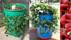 Čisté jahody: pěstování   Prima nápady Planter Pots, Hub