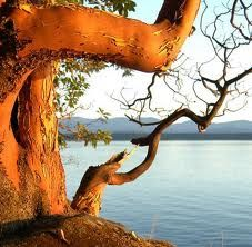 Arbutus Tree, with an eagle for each person I have lost. Reminds me of my nanna and grandpa's cabin.  Rest in peace grandpa.