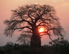 baobab at sunset Sunrise, Trees, African, Celestial, Superfoods, Outdoor, Image, Outdoors, Tree Structure