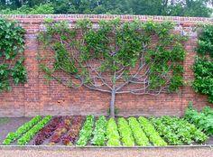 Wolterton & Mannington Estate, Norfolk, England - espaliered fig
