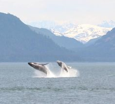 U.S. Department of the Interior -  Here's something you don't see every day: two whales breaching at Glacier Bay National Park and Preserve in Alaska. Photo by G. Nachman.