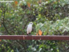 Noivinha-branca (Xolmis velatus) fotografada em São José do Rio Pardo/SP, em Abril/14.