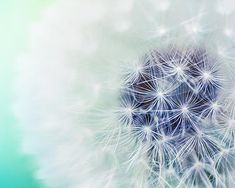 botanical dandelion photography teal wall art print 8x10 8x12 nature photography teal mint green lilac blue nursery art dreamy dandelion cij...