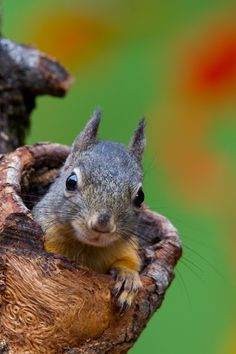 """""""Squirrely Saturday"""", I always have a soft spot for photographing the little critters. Here is a Douglas Tree Squirrel at a knothole feeder from my ba... - Chris Hansen - Google+"""