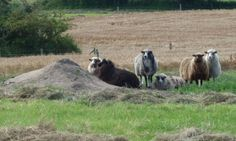 Hello sheeps.