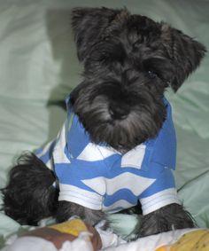 I wish I could put my Schnauzer in a sweater!!