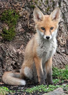 I love foxes :) they're the perfect fusion of what I like about dogs and what I like about cats