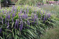 Fiijnbladig siergras met paarse bloemen - Planten outdoor | Online tuincentrum BB-Tuinproducten | Online tuincentrum BB-Tuinproducten