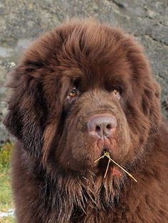 Brown Newfoundland #dog - Dexter | Kennel Newgraden