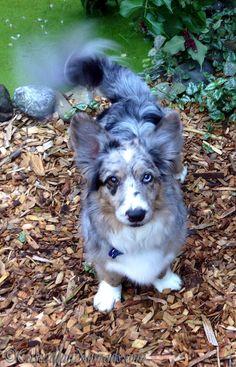 Blue merle cardigan Welsh corgi dog @CascadianNomads