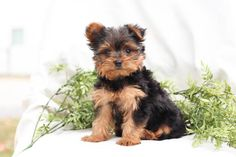 Lancaster Puppies, Yorkshire Terrier Puppies, Fun Loving, Mans Best Friend, Puppy Love, Pets, Animaux, First Love, Yorkie Puppies