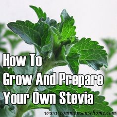 How To Grow And Prepare Your Own Stevia►►http://off-grid.info/blog/how-to-grow-and-prepare-your-own-stevia/?i=p