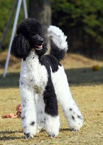 Got to like this website. Find more information on corgi puppies. Check the webpage for more info. Poodle Cuts, Poodle Mix, Poodle Puppies, Poodle Grooming, Dog Grooming, I Love Dogs, Cute Dogs, Poodle Haircut, Best Dog Breeds