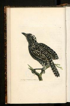 Lanius Doliatus. ... Pied Shrike.