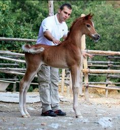 Arabian foal.... little too dished face for me but and AMAZING body!