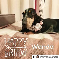 🎂 Bon anniversaire à MADAME WANDA d'An Naoned et à tous ses frères et soeurs ! 💞 Italie 🇮🇹 📷 Mrs Sacchetti 💻 http://www.mammaimperfetta.it  #basset #bbg #bassetbleudegascogne #hbd #hddpet #hbddog #bassetoftheday #dogoftheday #cute #cutedog #petpics #dogpics #buoncompleanno #cani #dog #chien #pet #bonanniversaire #doglove #bassetlovers #bassetlove #amourdechien #happybirthday