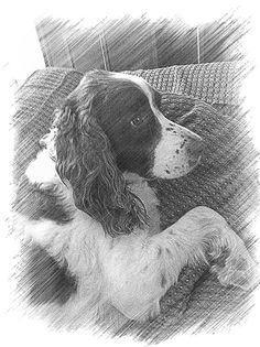 Sisqo 14 year old English Springer Spaniel Springer Dog, Springer Spaniel Puppies, Clumber Spaniel, English Springer Spaniel, Best Dog Breeds, Best Dogs, Kinds Of Dogs, Irish Setter, Watercolor Animals