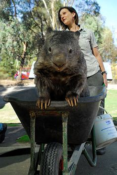 As a younger wombat, Patrick spent many years greeting park visitors in a wheelbarrow. | The World's Oldest Wombat Is A 29-Year-Old Virgin, And He Doesn't Care