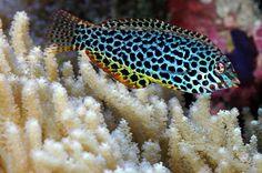 Leopard Wrasse - Saltwater fish
