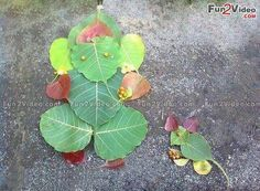 Ganesh Made Of Leaves Amazing Indian