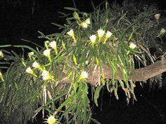 How to Take Care of Night Blooming Cereus