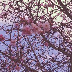 【dog10ve】さんのInstagramをピンしています。 《#sakura #ラッキー #japan #followme #beautifully #tokyo #temple #asakusa #東京 #asakusatemple #桜 #日本の風景 #flowers #cute #love #今年初 #beauty #春 #follow #花 #lovely #寺 #follwers #フォロー #綺麗 #可愛い #flower》