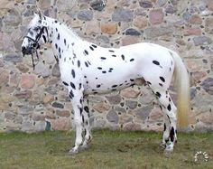 Knabstrupper - stallion Figaro of Hallunbeck