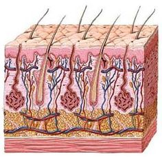 What exactly does mean? It's French for 'through the dermis'. Tracy Anderson Method, Hair Science, Scalp Problems, Oily Scalp, Skin Tag, Body Organs, Anatomy And Physiology, Organic Skin Care, Human Body
