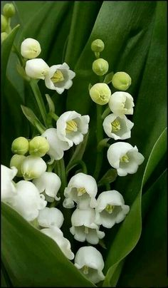 lily of the valley flowers Exotic Flowers, Amazing Flowers, White Flowers, Beautiful Flowers, Lily Of The Valley Flowers, Arte Floral, Flower Wallpaper, Spring Flowers, Planting Flowers