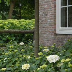 Prachtige hortensia's in een landelijke tuin. Aangelegd door Hoveniersbedrijf Piet Wisse uit Aagtekerke, Zeeland.