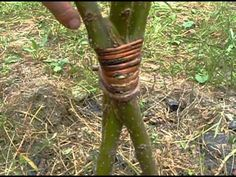 Уход за живыми плетеными деревьями - Часть 1 - YouTube