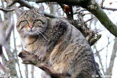 Gato Montés 3 Small Wild Cats, Big Cats, Cool Cats, Best Cat Food, Dry Cat Food, Wild Cat Species, Endangered Species, Pallas's Cat, Rare Cats