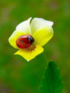 lady bug on yellow pansy