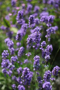 Lavender by Green Iris Photography, via Flickr