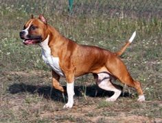American Staffordshire Terrier Information and Pictures