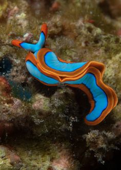 Nudibranch - Thuridilla lineolata