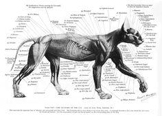 cat anatomy - Google Search