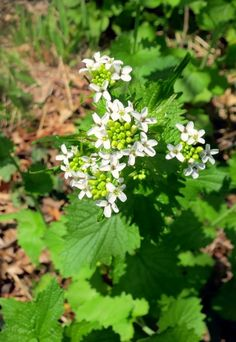 The Foraged Foodie: Why you should be eating Garlic Mustard, an invasive weed, with easy recipe ideas