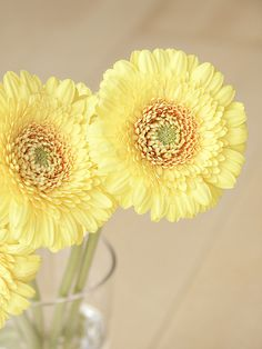 Soft Yellow Gerbera with yellow centers                                                                                                                                                                                 More