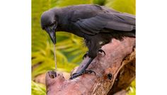 Second Crow Species Discovered Using Crowbars