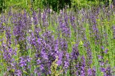 Learning how to grow salvia and how to take care of salvia plants provides a wide range of sights and smells, as there are many types to choose from. Find out about the different salvia plants in this article. Flowers Perennials, Planting Flowers, Lavender Plants For Sale, Container Gardening, Gardening Tips, Lavender Hidcote, Salvia Plants, Easy To Grow Bulbs, Perennials