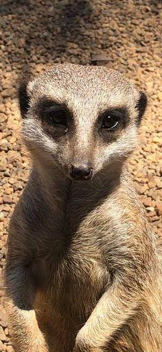 Meerkat, so cute...