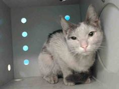 TO BE DESTROYED 10/23/13 Brooklyn Center  My name is BABY. My Animal ID # is A0982454. I am a neutered male white and black domestic sh mix. The shelter thinks I am about 1 YEAR  I came in the shelter as a STRAY on 10/18/2013 from NY 11208, owner surrender reason stated was STRAY. I came in with Group/Litter #K13-157199 https://www.facebook.com/photo.php?fbid=684671494878019&set=a.576546742357162.1073741827.155925874419253&type=3&theater