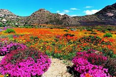Photo taken in Goegap Nature Reserve, South Africa. Places Around The World, Travel Around The World, Around The Worlds, South Afrika, Wild Flowers, Rock Flowers, Desert Flowers, Desert Plants, Belleza Natural