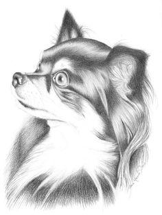 Chihuahua, pencil drawing.