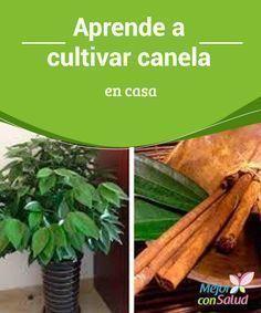Aprende a cultivar canela en casa La canela tiene beneficios que la mayoría de la gente desconoce. De origen oriental, se suele utilizar como ingrediente aromático en preparaciones dulces, entre otras recetas.