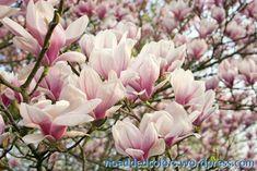 Magnolia, Plants, Magnolias, Plant, Planets