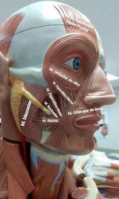 Dental Assistant Study, Science Models, Anatomy Bones, Medicine Student, Medical Anatomy, School Study Tips, Dental Surgery, Med Student, Medical Science