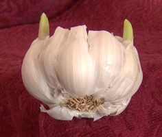 Old sprouting garlic = higher health benefits