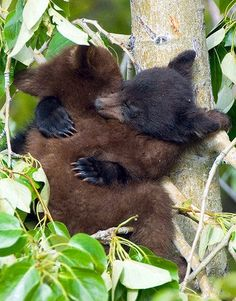 """""""The idea of wilderness needs no defense. It only needs more defenders."""" ~ Edward Abbey Black Bear Cubs Sleeping These cubs, started wrestling in this cottonwood tree, then promptly fell asleep in the middle of their play! Canadian Rockies, Alberta Please SHARE our Wildlife and Nature page. https://www.facebook.com/pages/Wild-for-Wildlife-and-Nature/279792438707552"""